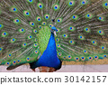 peacock, bird, plumage 30142157