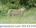 lion, wildlife, animal 30142240