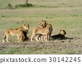 Lion 30142245