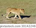 lion, wildlife, animal 30142246