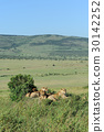 lion, wildlife, animal 30142252