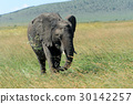 elephant, nature, animal 30142257