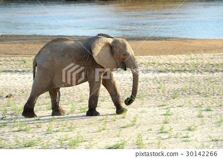 Elephant 30142266