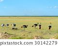 Grey crowned crane 30142279