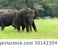 Elephants 30142304