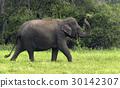 Elephants 30142307