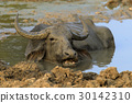 Water buffalo are bathing in a lake 30142310