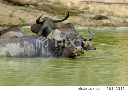 Water buffalo are bathing in a lake 30142311