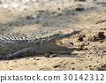 crocodile, animal, reptile 30142312