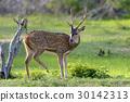 Wild Spotted deer 30142313