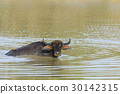 Water buffalo are bathing in a lake 30142315