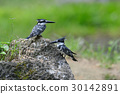 Pied Kingfisher on stone 30142891