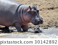 hippopotamus animal wildlife 30142892