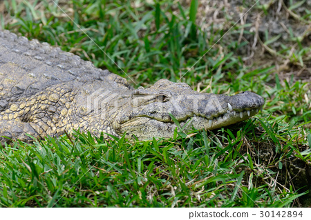 Crocodile in National park of Kenya, Africa 30142894