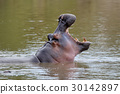 Hippo on lake in Africa 30142897