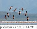 flamingo, bird, animal 30142913