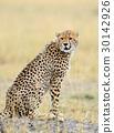 치타, 동물, 고양이 30142926