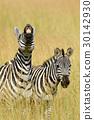 斑馬 動物 非洲 30142930