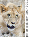 animal, lion, wildlife 30142951