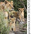 animal, lion, africa 30142972