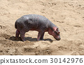 hippopotamus, animal, wildlife 30142976
