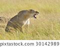 animal, lion, africa 30142989