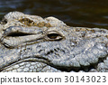 crocodile, reptile, animal 30143023