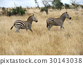 zebra, animal, wildlife 30143038