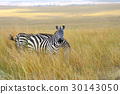 zebra, animal, wildlife 30143050