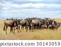 Wildebeest 30143059