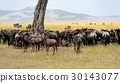 Wildebeest in National park of Africa 30143077