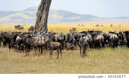 Wildebeest in National park of Africa 30143077