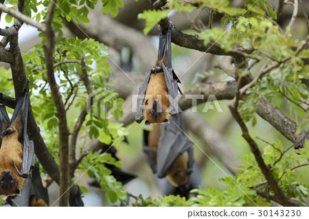 Flying fox 30143230