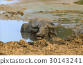 Water buffalo are bathing in a lake 30143241