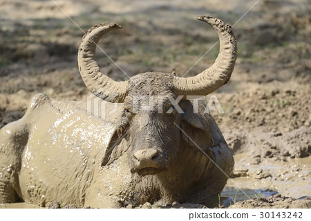 Water buffalo are bathing in a lake 30143242
