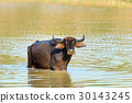 Water buffalo are bathing in a lake 30143245