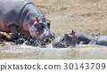 Hippo in the water 30143709