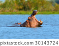 hippopotamus, mouth, river 30143724
