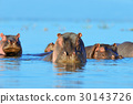Hippo in the water 30143726
