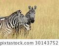 斑馬 動物 非洲 30143752