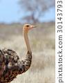 African ostrich (Struthio camelus) 30143793