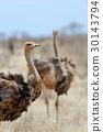 African ostrich (Struthio camelus) 30143794