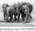 elephant, animal, run 30143805