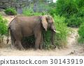 Elephant 30143919