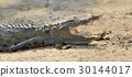 crocodile, animal, reptile 30144017