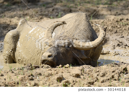 Water buffalo are bathing in a lake 30144018
