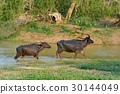 Water buffalo are bathing in a lake 30144049