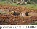 Water buffalo are bathing in a lake 30144060