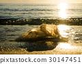 Dead jellyfish on the beach 30147451