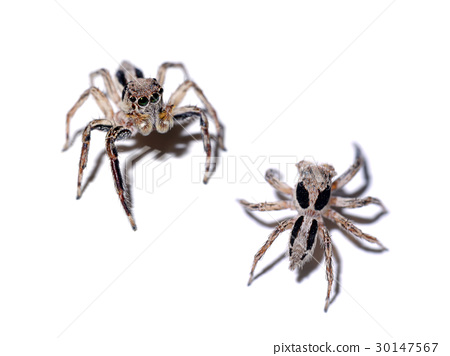 Jumping Spider on white background. 30147567